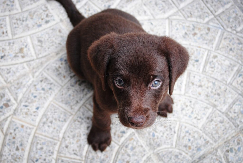 how-much-food-to-feed-a-puppy